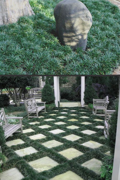 Dwarf Grasses Landscaping Buy dwarf mondo grass for sale online from wilson bros gardens dwarf mondo grass is an evergreen groundcover that looks like turfry deep green turf that is more details below workwithnaturefo