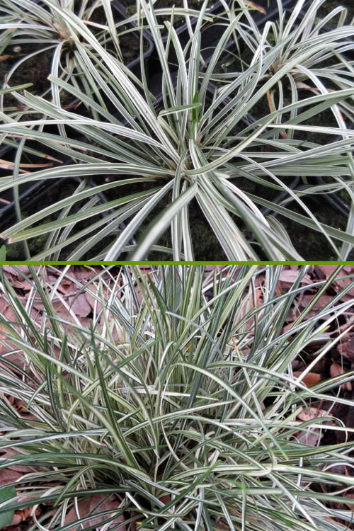 Buy Siver Mist Mondo Grass Ophiopogon Plants For Sale Online From