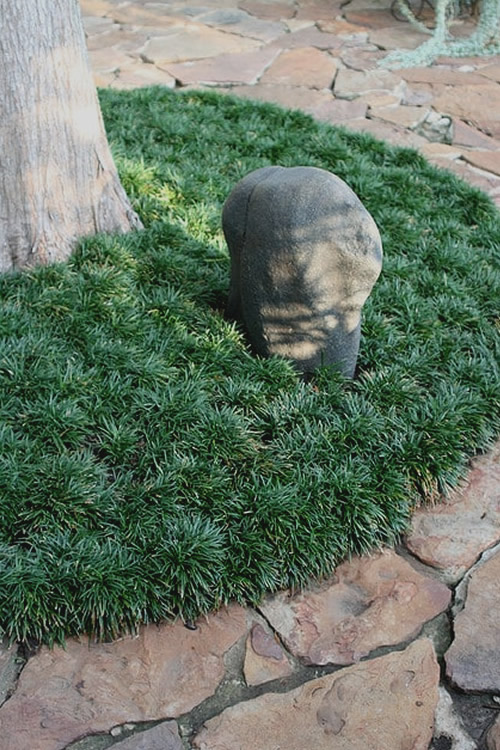 Dwarf Mondo Grass - 18 Count Flat of 3.5