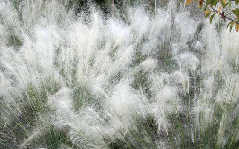 Buy white cloud muhly grass for sale online from wilson bros gardens mightylinksfo Choice Image