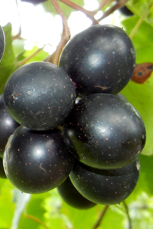 Cowart Black Muscadine Grape Vine - 1 Gallon Pot