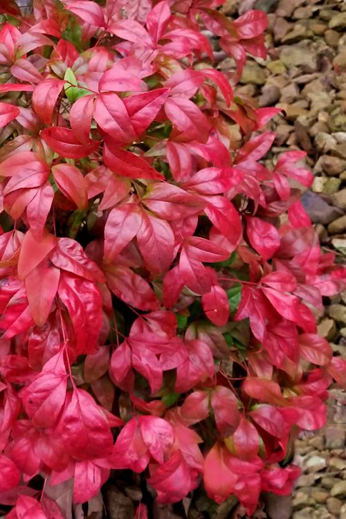Firepower Dwarf Nandina - 6 Pack of 1 Gallon Pots