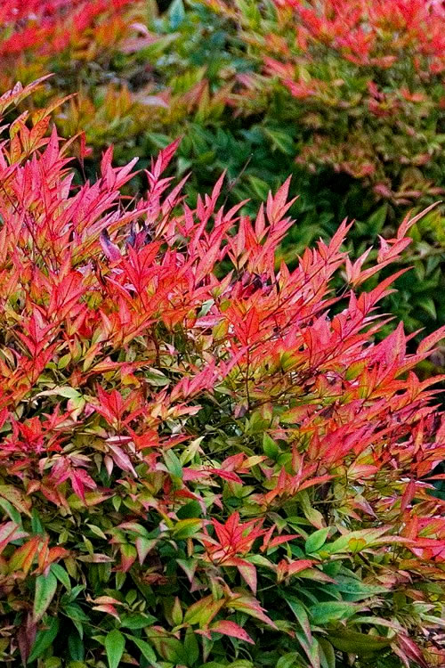 Gulf Stream Nandina - 1 Gallon Pot