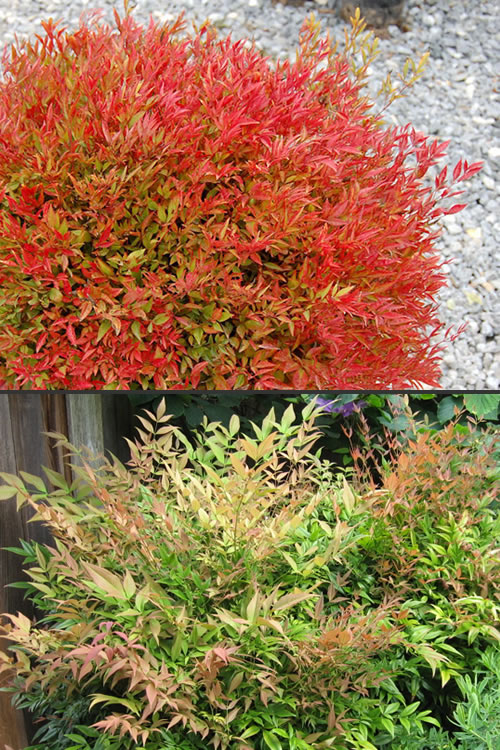 Buy Moonbay Dwarf Nandina For Sale Online From Wilson Bros