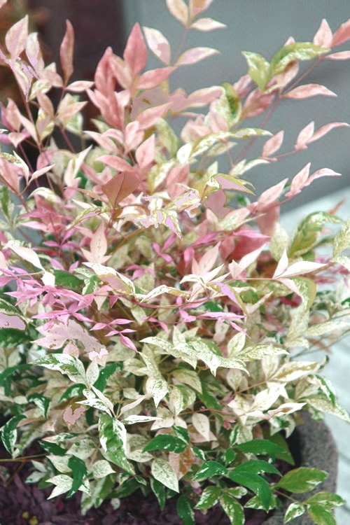 Twilight Nandina - 1 Gallon Pot