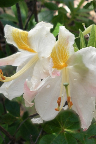 High Tide Aromi Azalea (Deciduous Rhododendron hybrid) - 1 Gallon Pot