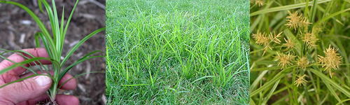 How To Kill Nutsedge Lawns and Landscapes