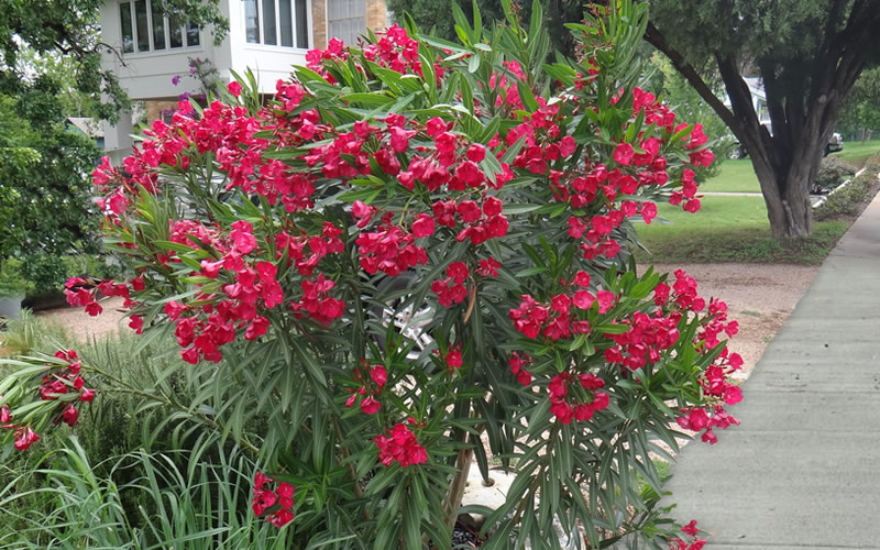 Buy Cold Hardy Red Oleander Free Shipping 3 Gallon Pot