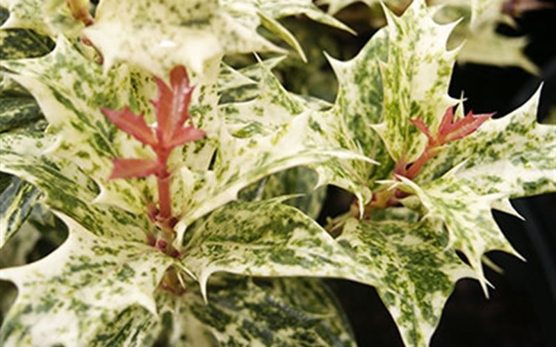 Buy Goshiki Osmanthus Variegated False Holly Free