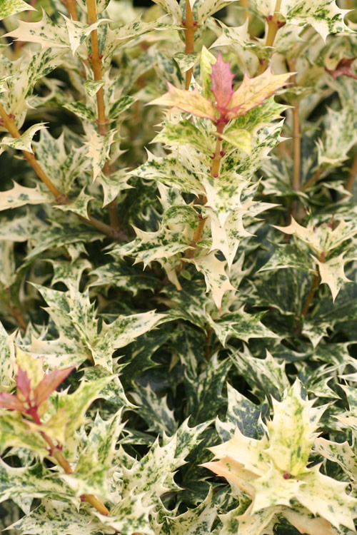 Goshiki Osmanthus - Variegated False Holly