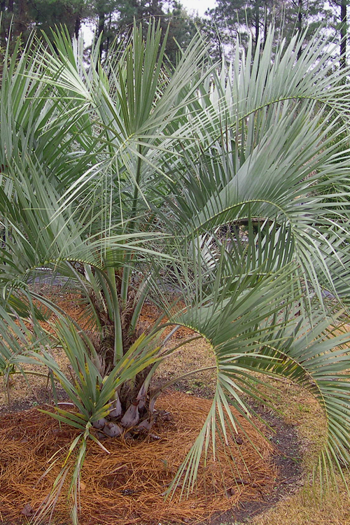 Pindo Palm Tree - Jelly Palm