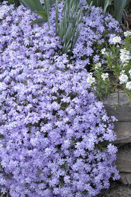 Buy emerald blue creeping phlox plants for sale online from wilson emerald blue creeping phlox mightylinksfo
