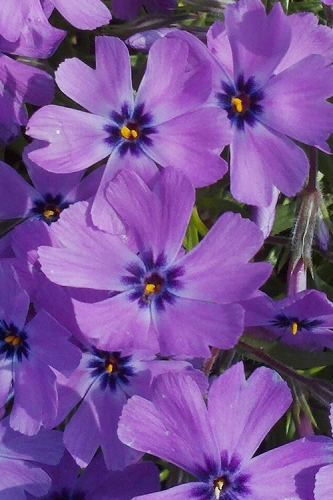 Purple Beauty Creeping Phlox - 6-Pack of 2.5 Quart Pots