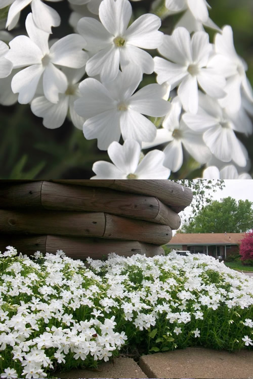 Buy White Delight Creeping Phlox Plants For Sale Online