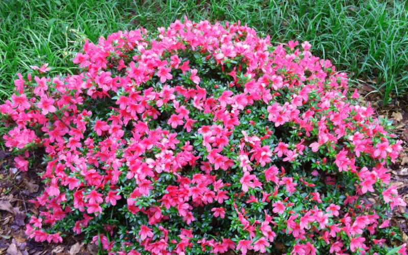 Buy Chinzan Dwarf Azalea Free Shipping For Sale Online From