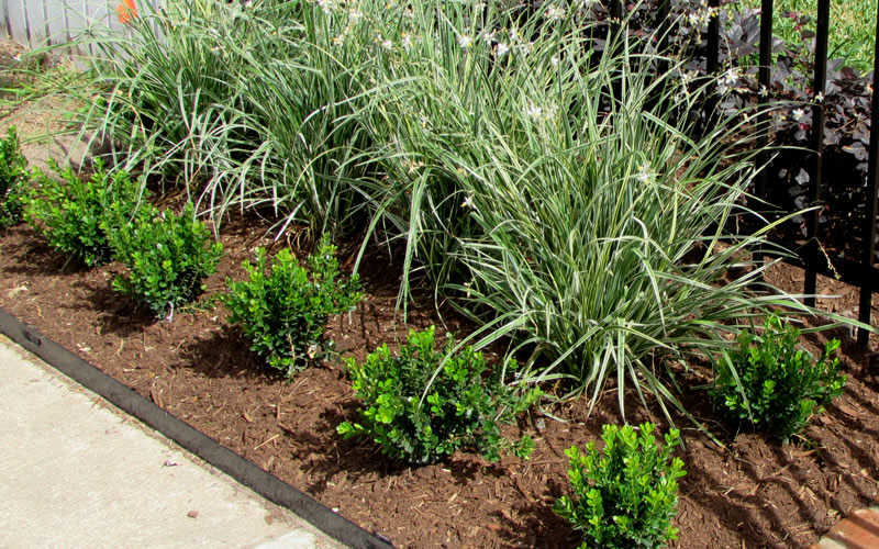 Buy Baby Gem Boxwood For Sale Online From Wilson Bros Gardens