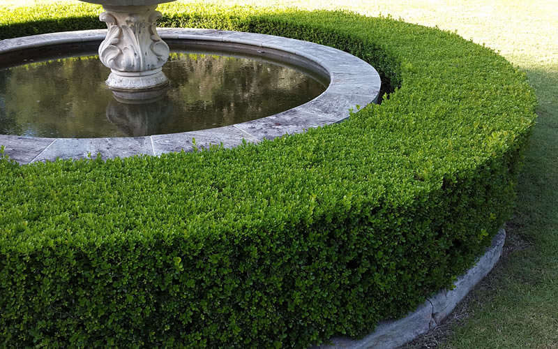 New Buy Franklins Gem Dwarf Boxwood For Sale Online From Wilson Bros  OO32