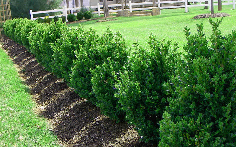 Buy green mountain boxwood for sale online from wilson for How to buy a mountain