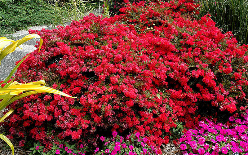Cherry Dazzle Dwarf E Myrtle Free Shipping For Online From Wilson Bros Gardens