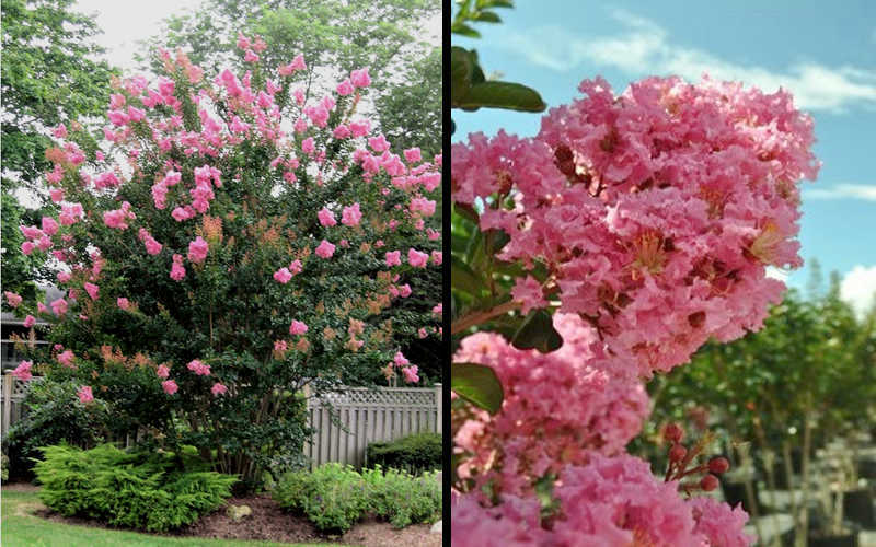 Buy sioux pink crape myrtle for sale online from wilson bros gardens add to wish list mightylinksfo Image collections