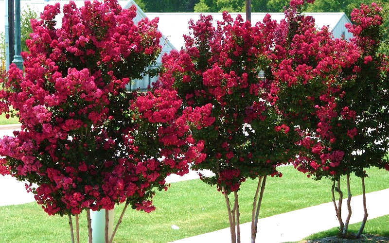 Buy Tonto Red Crape Myrtle Free Shipping 3 Gallon