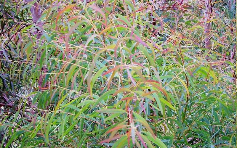 Angus Is A More Cold Hardy Selection Of The Willow Leaf Peppermint Eucalyptus Producing Large Rather Broad Spreading Gracefully Weeping Fine Leafed