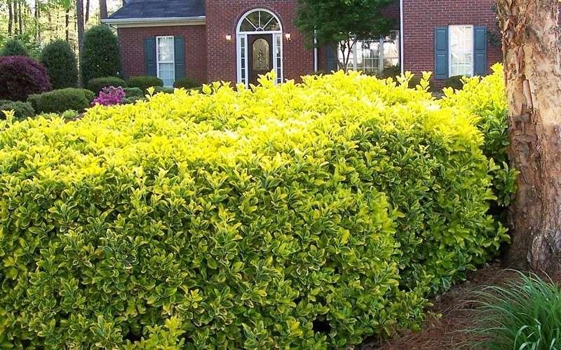 golden euonymus pruning garden design ideas