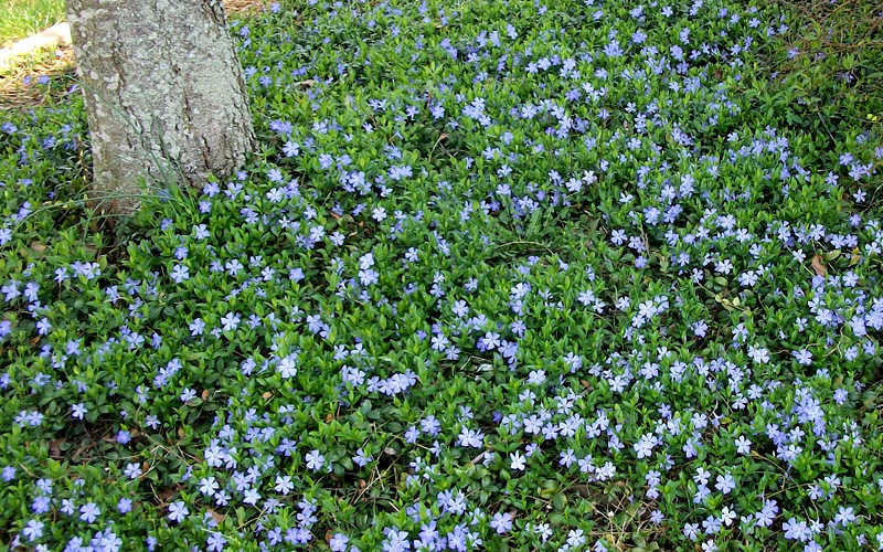 Buy evergreen periwinkle vinca minor for sale online from wilson evergreen periwinkle what we call vinca minor is a fast spreading evergreen perennial groundcover plant that loves the shade more details below mightylinksfo
