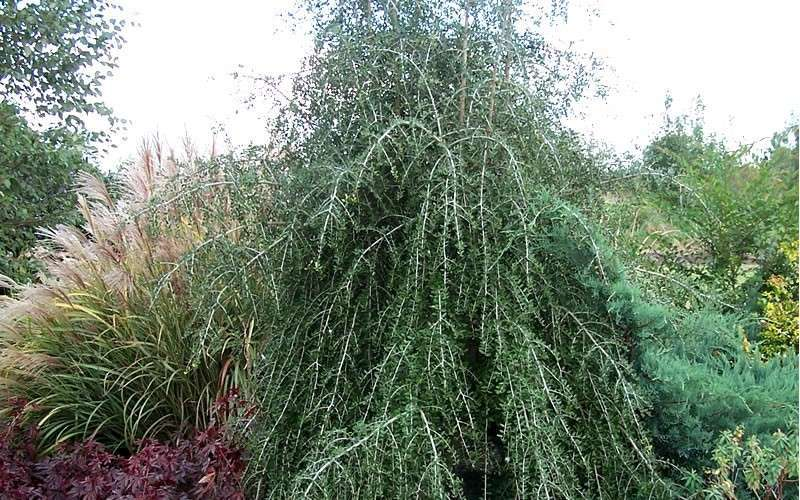 buy weeping yaupon holly for sale online from wilson bros