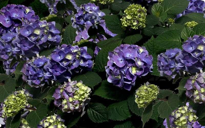 Buy Bloomstruck Endless Summer Hydrangea Free Shipping