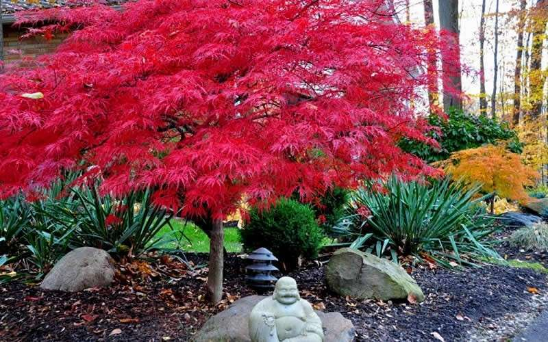 Buy Red Dragon Dwarf Japanese Maple Free Shipping 2 Gallon Pot