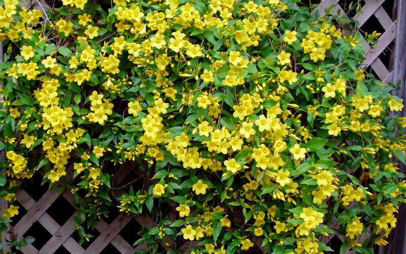 Buy yellow carolina jasmine vine for sale online from wilson bros add mightylinksfo Image collections