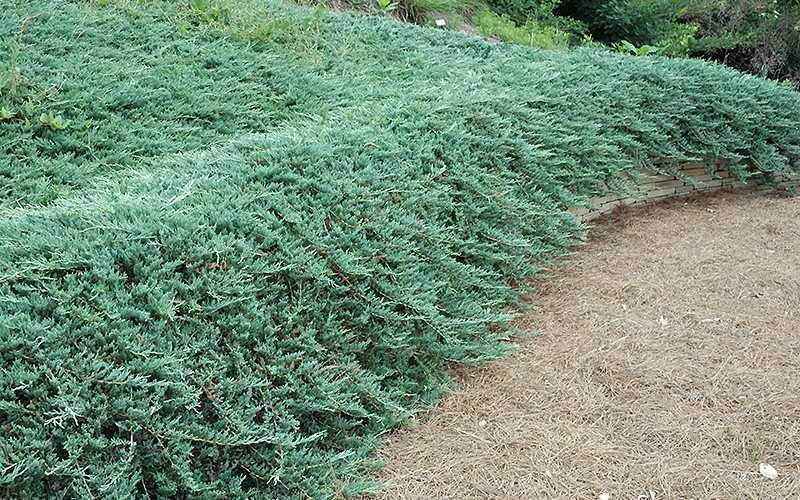 Buy Bar Harbor Spreading Juniper Plants Free Shipping