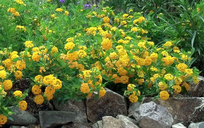 Buy New Gold Cold Hardy Lantana Free Shipping 5 Inch Size Potted