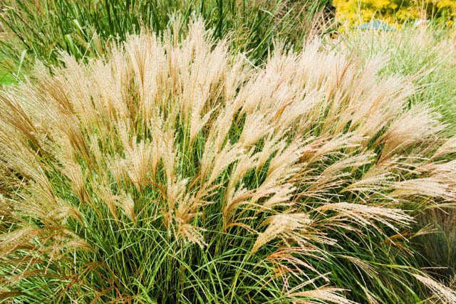 Buy little kitten dwarf maiden grass for sale online from for Maiden fountain grass