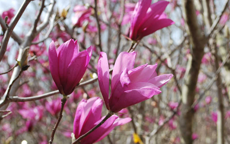 Buy Ann Magnolia Tulip Tree Free Shipping For Sale From Wilson