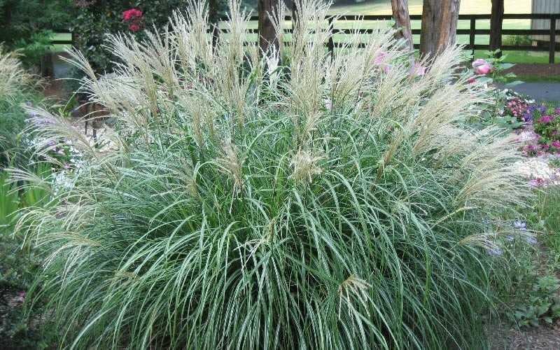 Buy Adagio Dwarf Maiden Grass Free Shipping Miscanthus