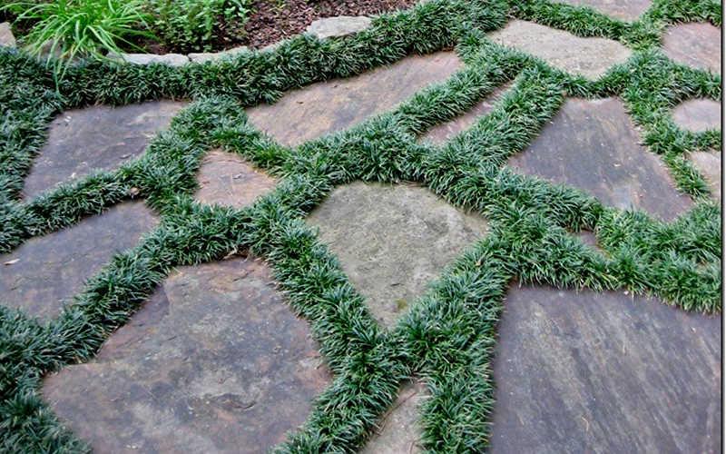 Buy Dwarf Mondo Grass Plants Free Shipping 3 5 Quot Pot
