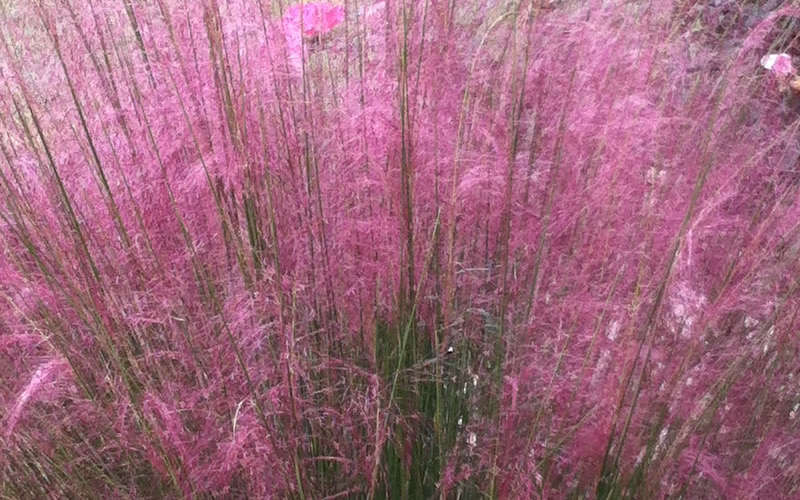 Buy pink muhly grass cotton candy grass for sale free shipping north american native grass immensely popular for the profuse beautiful clouds of airy pinkish purple flowers it produces over a long period from late mightylinksfo