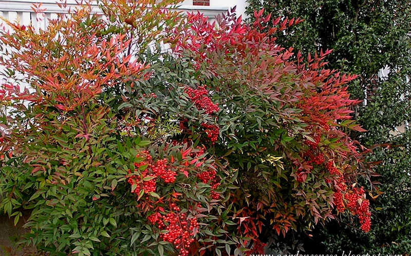 Buy Compact Heavenly Bamboo Nandina For Sale Online From ... Nandina Domestica Compacta