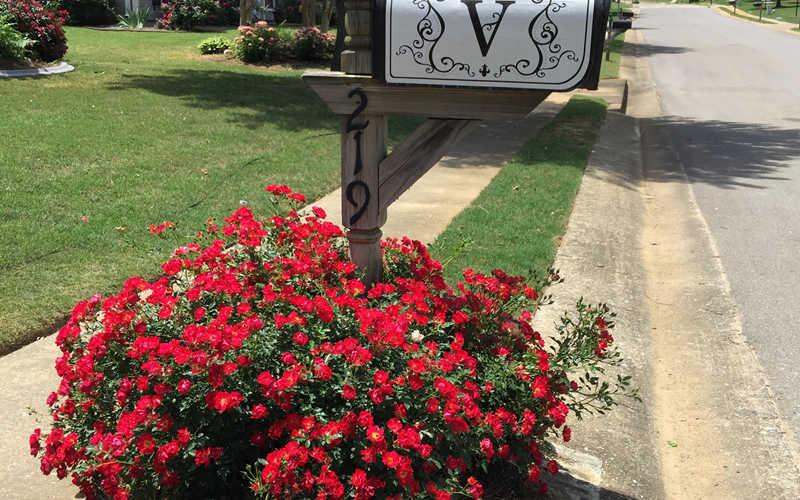 Buy Red Drift Groundcover Rose For Sale Online From Wilson