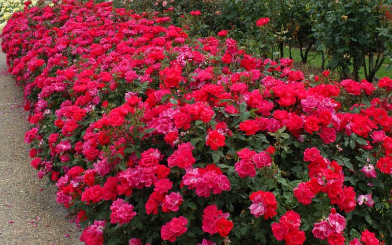 Buy Original Red Knock Out Rose Free Shipping 2 Gallon