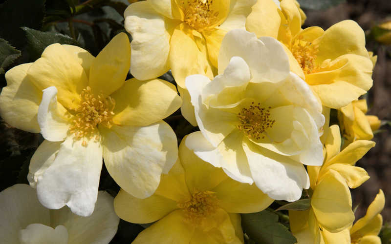Buy Sunny Yellow Knock Out Rose Free Shipping 1 Gallon