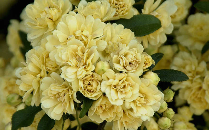 Buy lady banks yellow rose for sale online free shipping from the lady banks is an old fashioned thornless climbing or large shrub rose that explodes with clusters of miniature butter yellow blossoms in the spring mightylinksfo