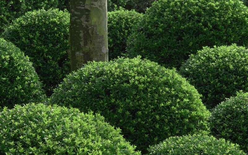 Buy Soft Touch Japanese Holly For Sale Online From Wilson