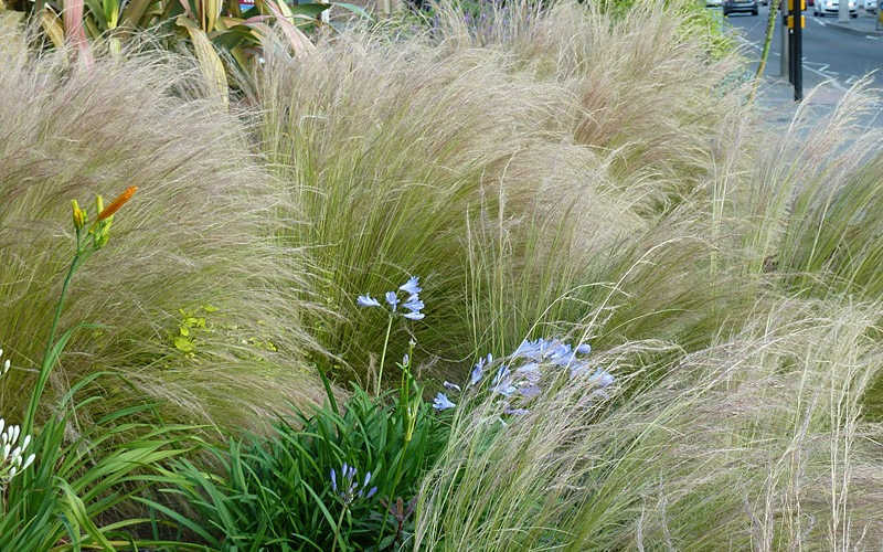 buy pony tails mexican feather grass - free shipping - stipa tenuissima