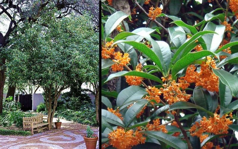 Buy Orange Tea Olive, Best Prices - Wilson Bros Gardens, Osmanthus ...