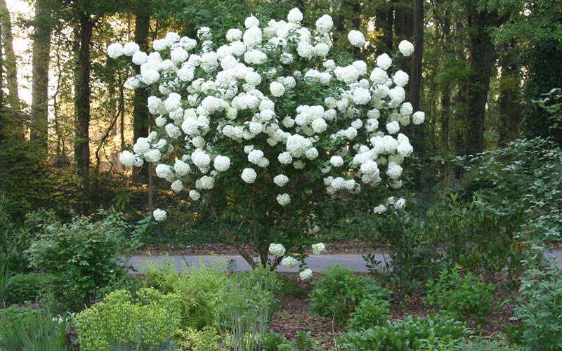 Buy Chinese Snowball Viburnum Bush Free Shipping 3 Gallon Size