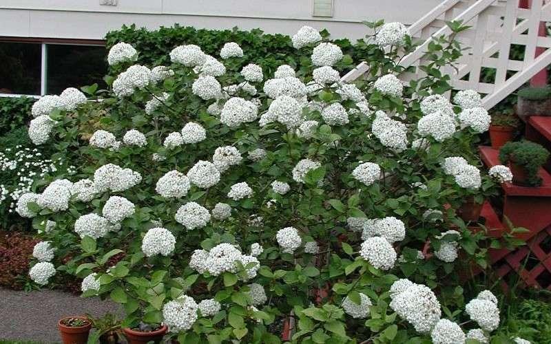 Buy Fragrant Snowball Viburnum Carlcephalum For Sale