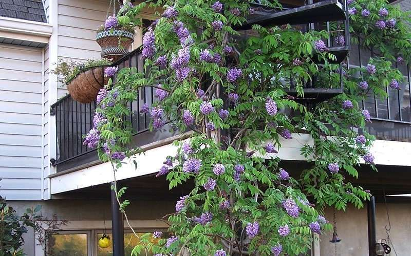 Buy Amethyst Falls Wisteria Vine Free Shipping For Sale From